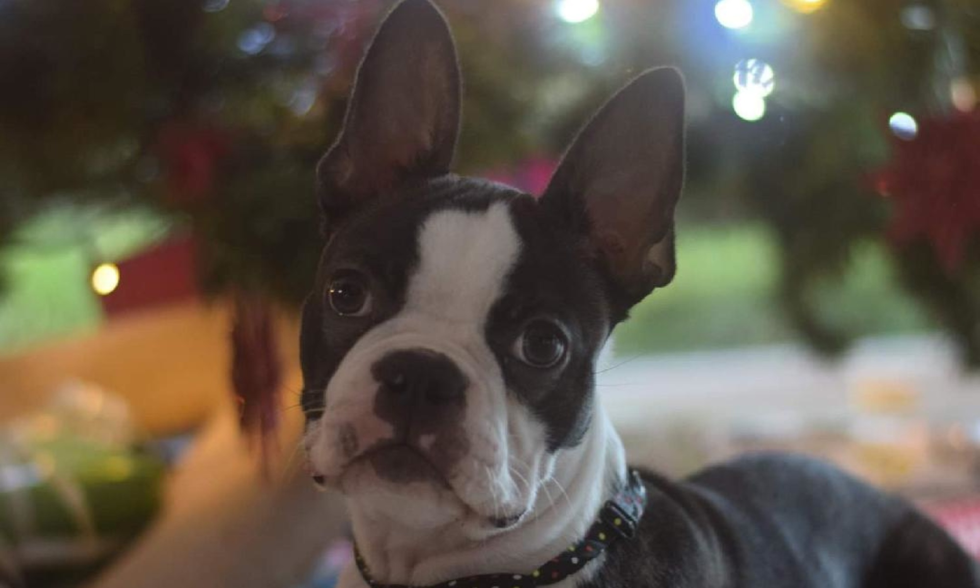 Boston Terrier von Saxenheim Sensation